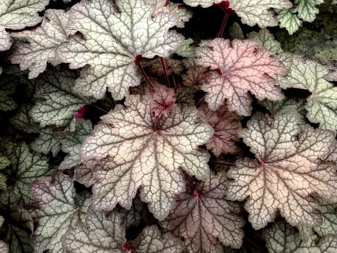 Heuchera hocus pocus photo heucheraholics 2