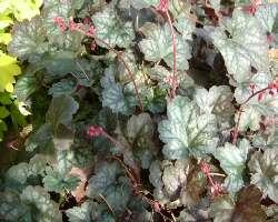 Heuchera lady in red1 07