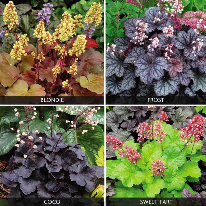 Heuchera littles cuties