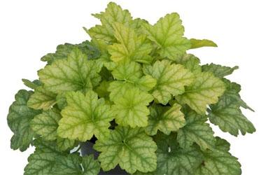 Heuchera lord lime