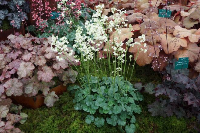 Heuchera madison bride photo plantagogo 2