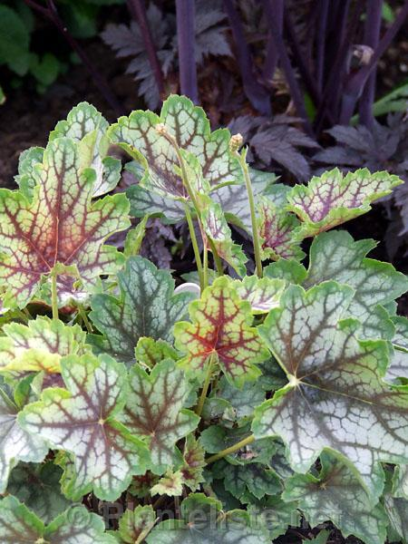 Heuchera magic color