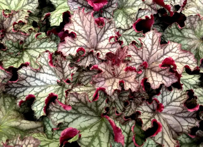 Heuchera magic flute photo heucheraholics 2