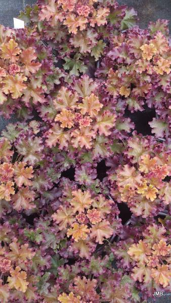 Heuchera moccachino