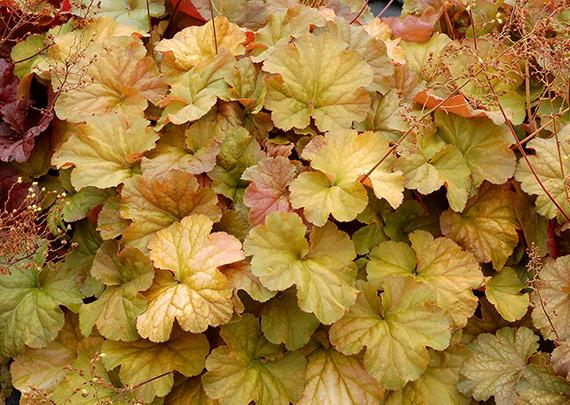 Heuchera northern exposure amber 1