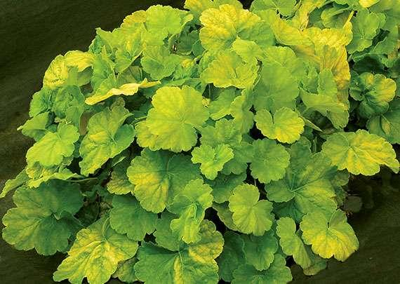 Heuchera northern exposure lime 1