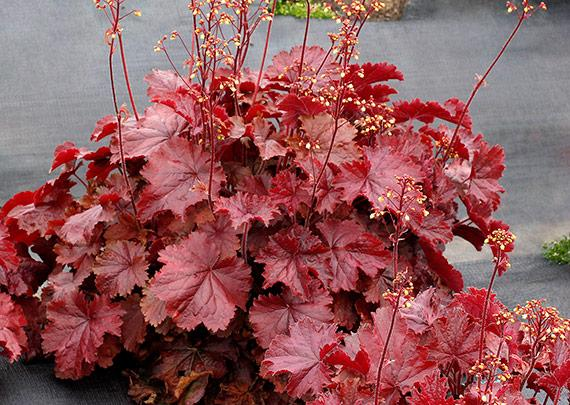 Heuchera northern exposure red 2