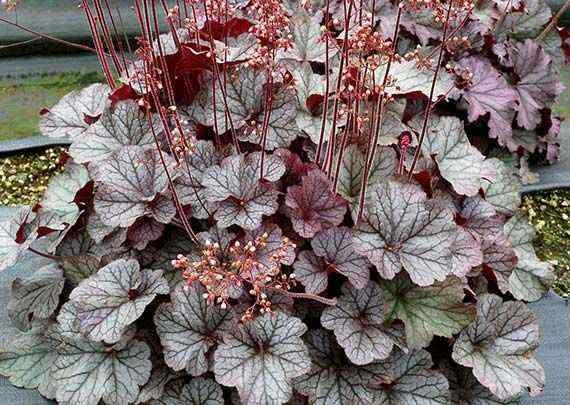 Heuchera northern exposure silver 1