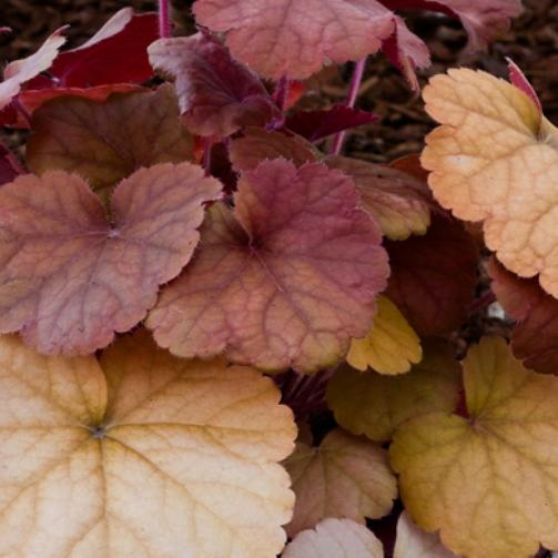 Heuchera orange blush 7