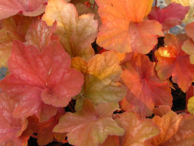 Heuchera orange dream 2