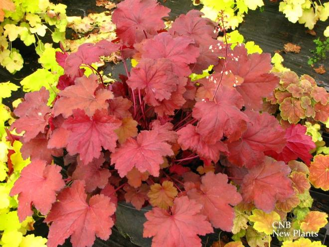 Heuchera orange dream 3