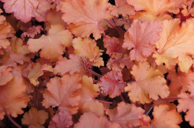 Heuchera peach and crips