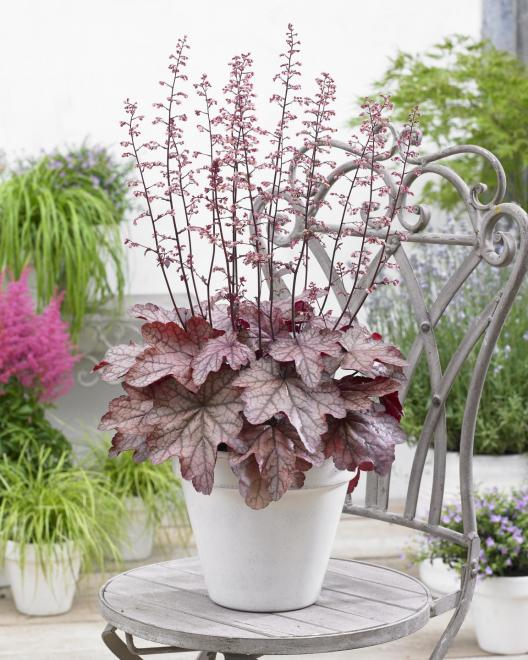 Heuchera plum power photo plantipp