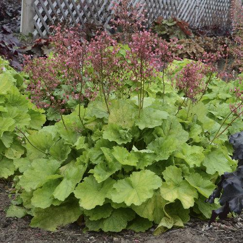 Heuchera pretty pistachio