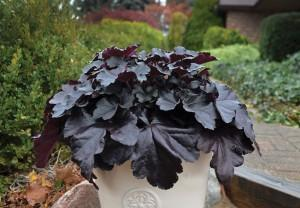 Heuchera primo black pearl photo walters gardens 300x208