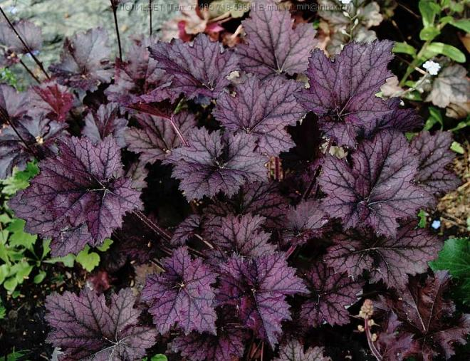 Heuchera purple mountain majesty
