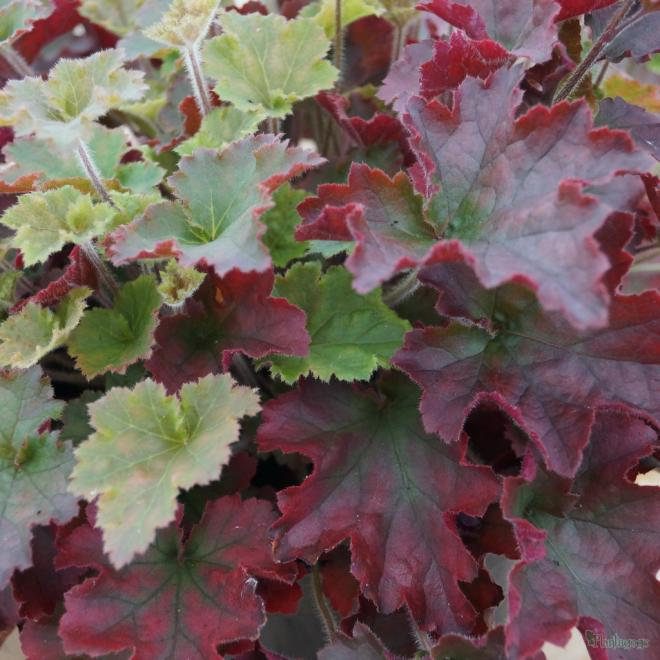 Heuchera red dress 16jan13 qpr