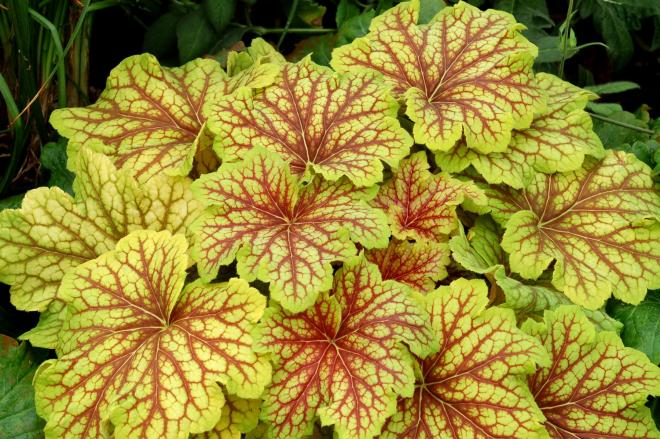 Heuchera red lightning 1jpg