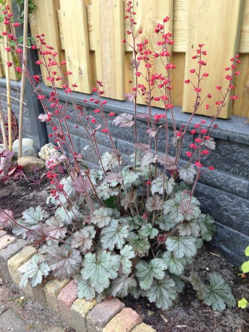 Heuchera red pearls