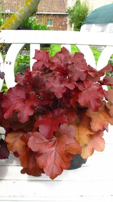 Heuchera red sea photo cnb nwe plants 4