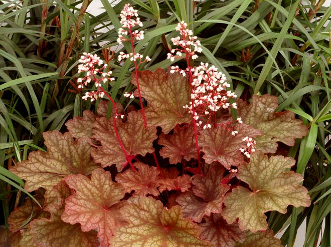 Heuchera rio photo terra nova nurseries