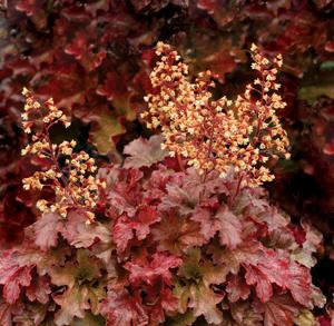 Heuchera root beer 1m