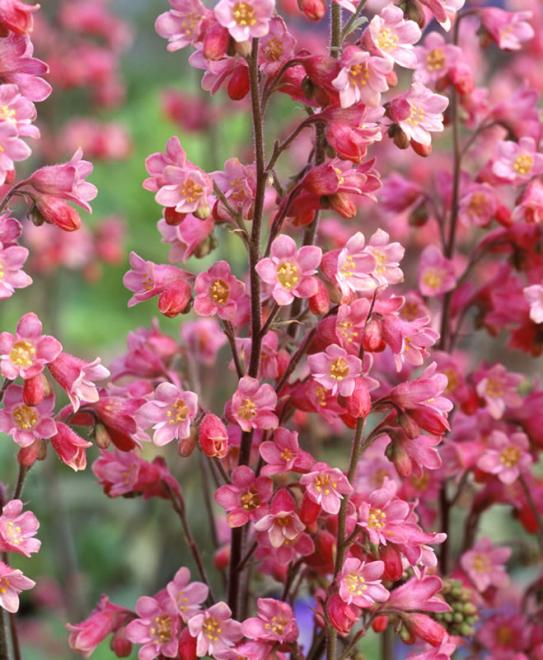 Heuchera rosemary bloom