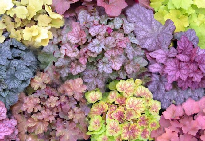 heuchera-selection-2006.jpg
