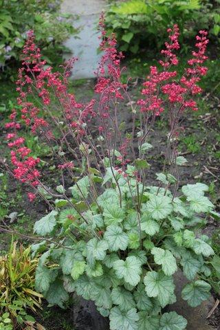 Heuchera silver dollar photo cnb new plants