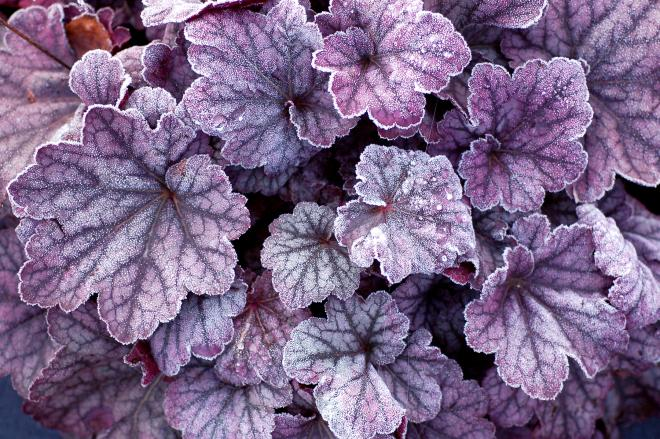 Heuchera sugar plum 3b