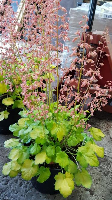 Heuchera sweet caroline photo plantagogo ii