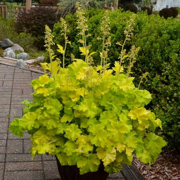 Heuchera twist of lime 1