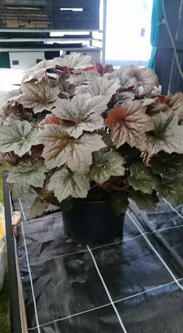 Heuchera walnut