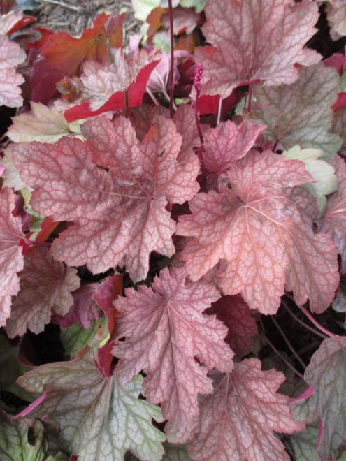 Heuchera watermelon