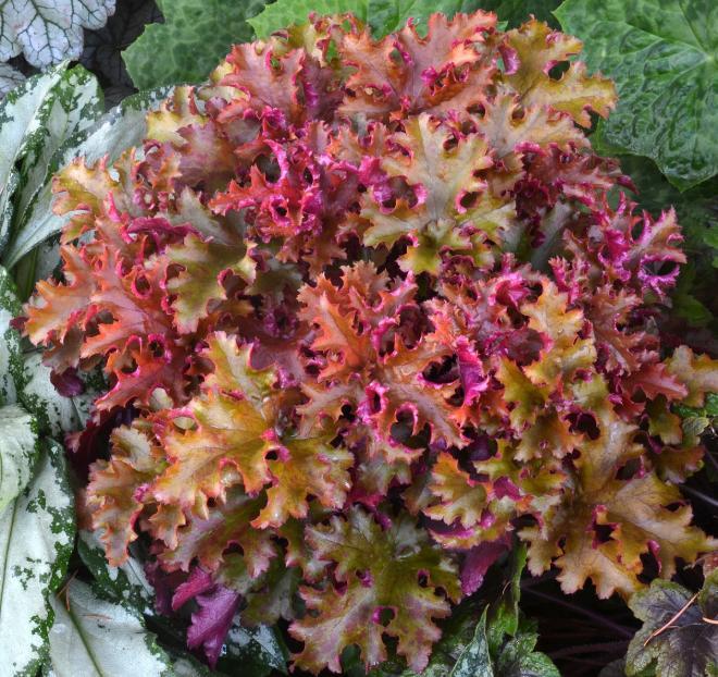 Heuchera zipper photo terra nova nurseries kl