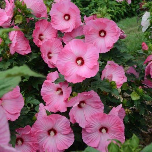 Hibiscus airbrusch effect