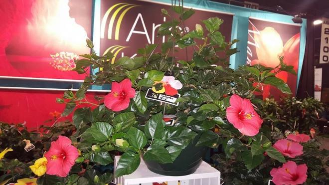 Hibiscus calypso fire tropical tradewinds photo aris horticulture inc