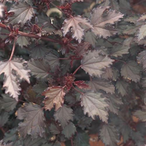 hibiscus-maple-sugar.jpg