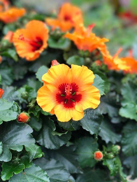 Hibiscus petit orange thompson morgan