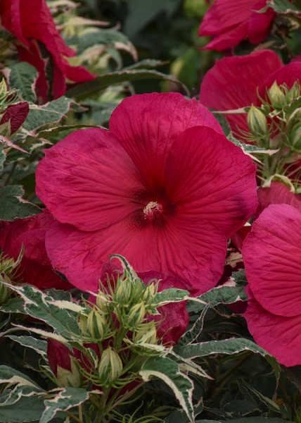 Hibiscus summer carnival