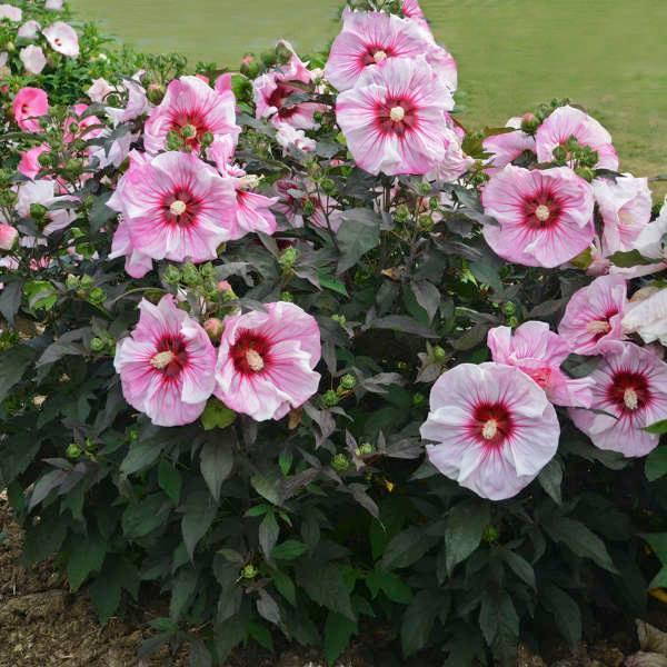 Hibiscus summerific cherry choco latte 2 jpg