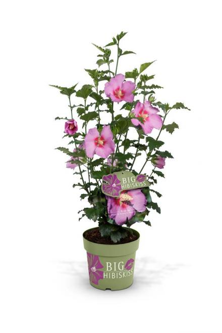 Hibiscus syriacus big hibiskiss rose moon 1