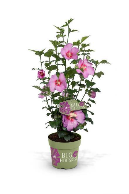 Hibiscus syriacus big hibiskiss rose moon 1