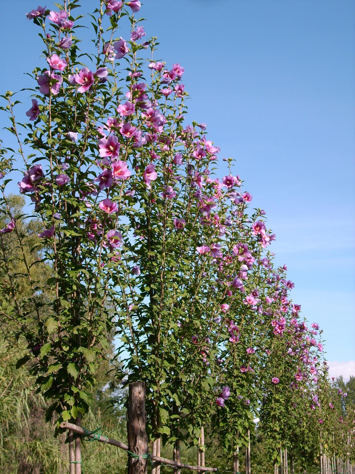 Hibiscus syriacus purple pillar gandini santiago photo gandini vivai1