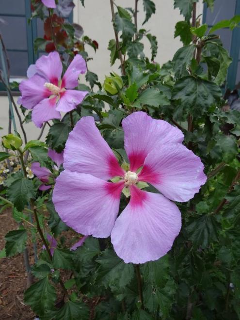 Hibiscus syriacus rose moon 1