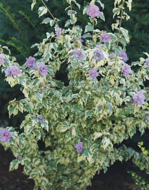 Hibiscus syriacus sugar tip