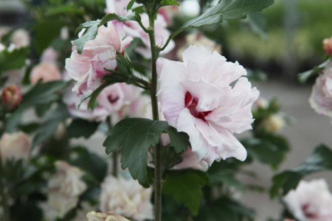 Hibiscus syriacus summer holiday