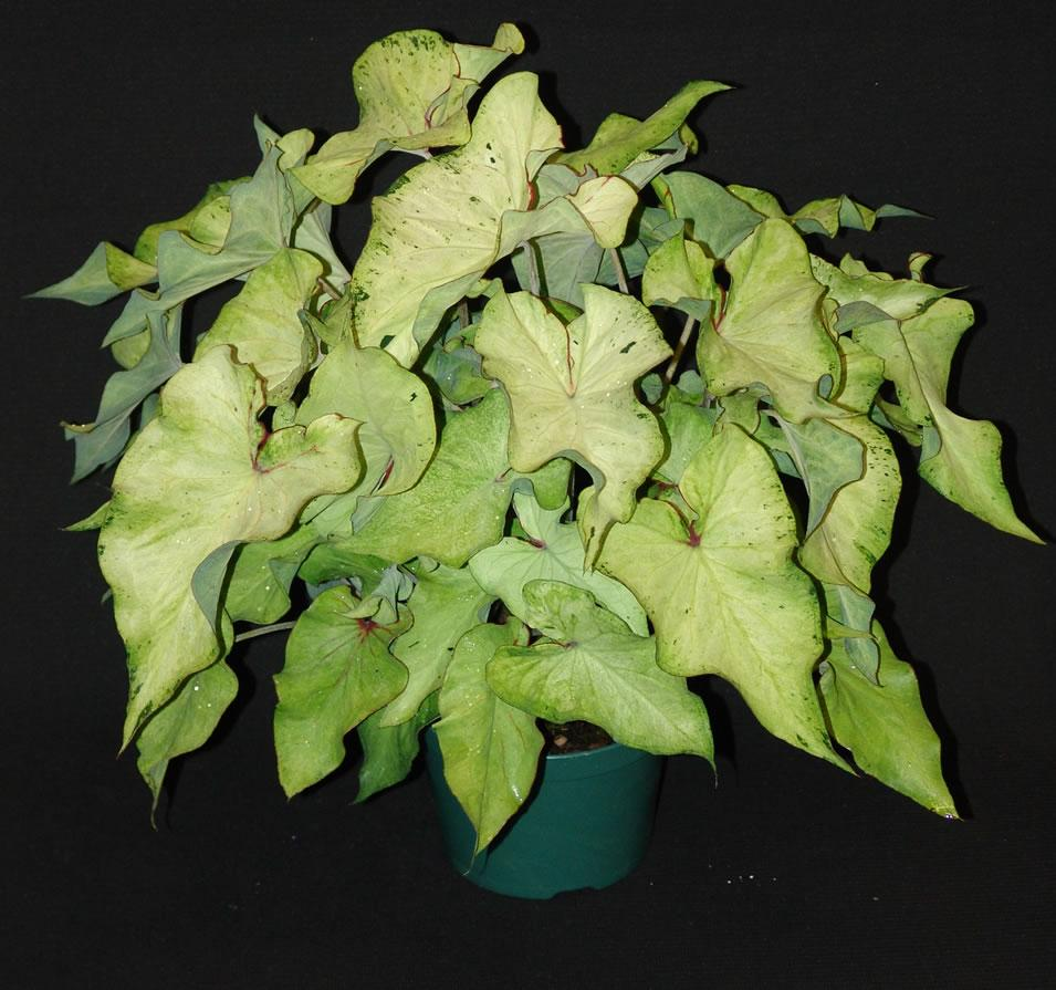 Highlighter caladium 1