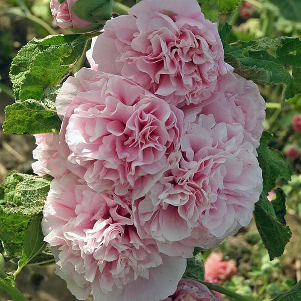 Hollyhock appleblossom