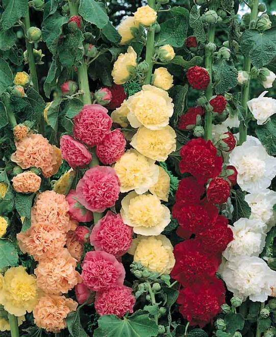 Hollyhock chaters double mix